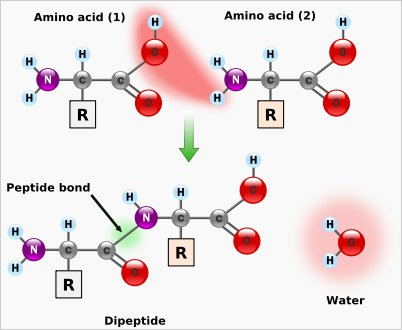 hur många aminosyror finns det i protein